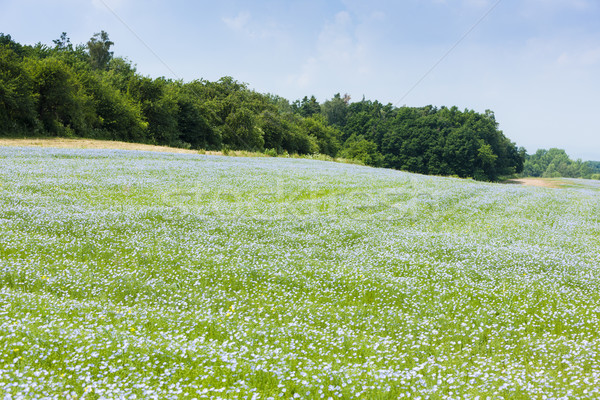landscape with flax field, Czech Republic Stock photo © phbcz