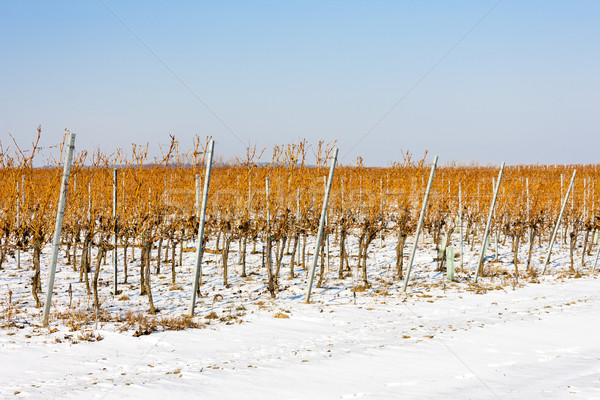winter vineyard, Southern Moravia, Czech Republic Stock photo © phbcz