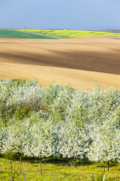 blooming orchard in spring with a field, Czech Republic Stock photo © phbcz