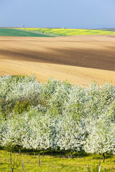 Boomgaard voorjaar veld Tsjechische Republiek bloem Stockfoto © phbcz
