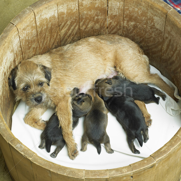 female dog with puppies (Border Terrier) Stock photo © phbcz