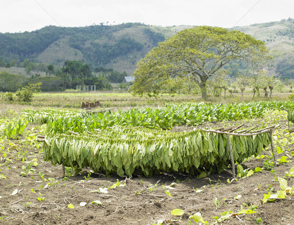 tobacco harvest, Ciego de  Stock photo © phbcz