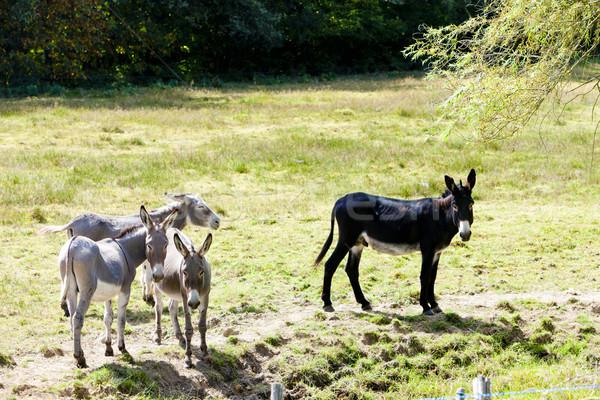 donkeys, France Stock photo © phbcz