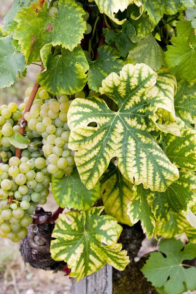 Biały winogron region Francja liści zielone Zdjęcia stock © phbcz