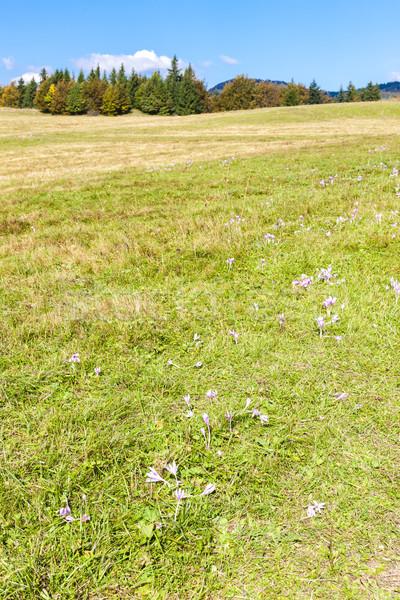 Prado flor baixo Eslováquia flor paisagem Foto stock © phbcz