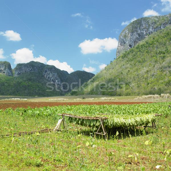 tobacco harvest, Vinales Valley, Pinar del R Stock photo © phbcz
