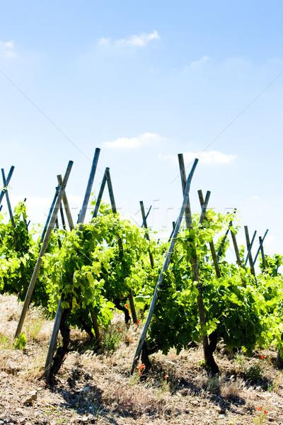 grand cru vineyards, Cote Rotie, Rhone-Alpes, France Stock photo © phbcz