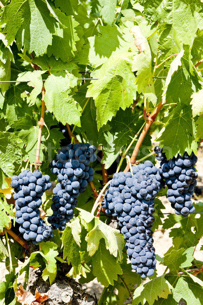 blue grape, La Rioja, Spain Stock photo © phbcz