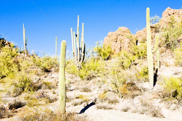 Park Arizona USA Landschaft Wüste Kaktus Stock foto © phbcz