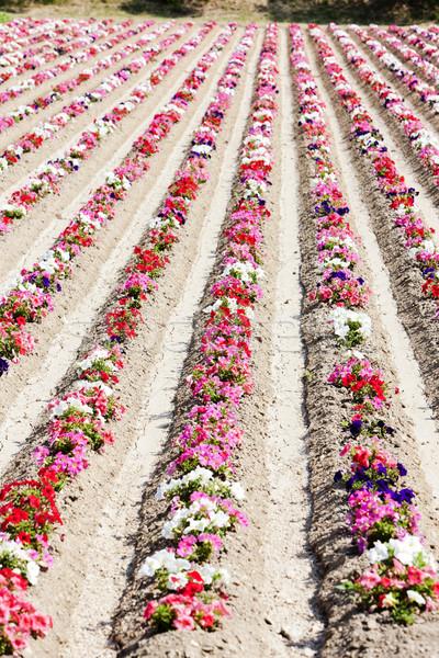 Champ de fleurs France nature domaine rouge usine Photo stock © phbcz