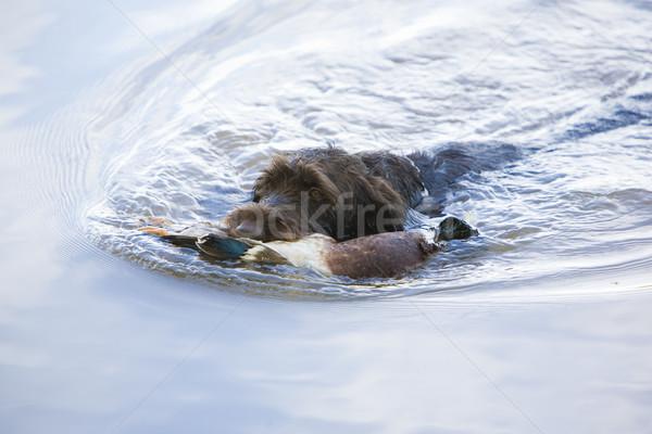 Jachthond hond zak dier eend Stockfoto © phbcz