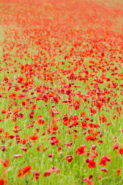 fresh red puppy meadow - photo #2