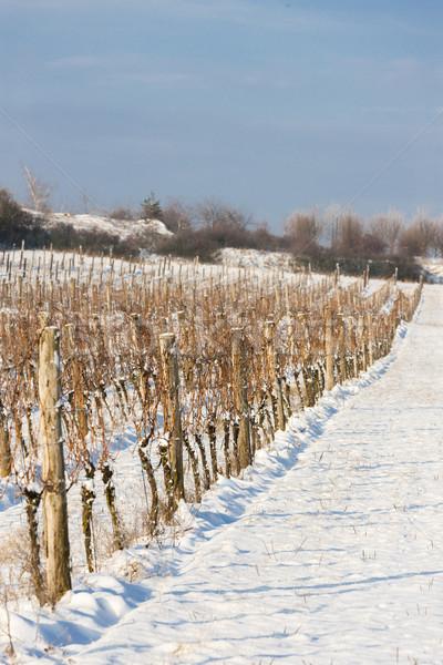 Сток-фото: зима · виноградник · южный · Чешская · республика · снега · белый