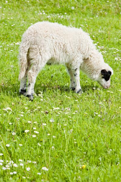 lamb on meadow, Bosnia and Hercegovina Stock photo © phbcz