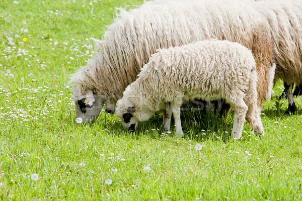sheep with a lamb, Bosnia and Hercegovina Stock photo © phbcz