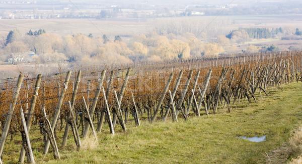 vineyard, Alsace, France Stock photo © phbcz