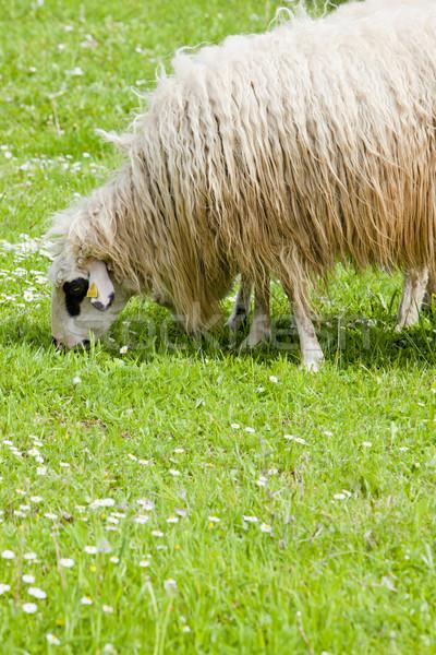 Schapen weide land buitenshuis zoogdier en Stockfoto © phbcz