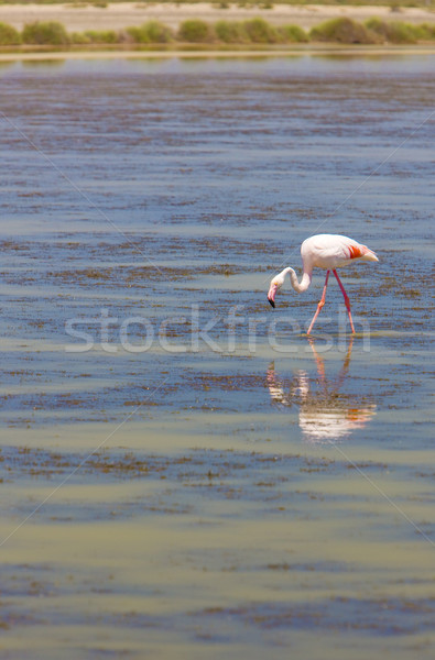 flamingo, Parc Regional de Camargue, Provence, France Stock photo © phbcz