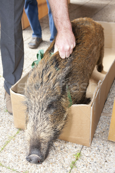caught wild boar Stock photo © phbcz