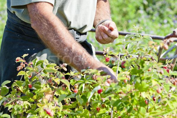 harvest of raspberries Stock photo © phbcz