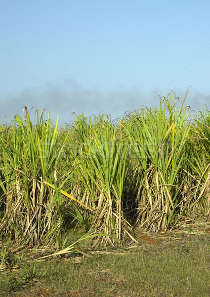 Zuckerrohr Bereich Natur Blatt Pflanzen tropischen Stock foto © phbcz