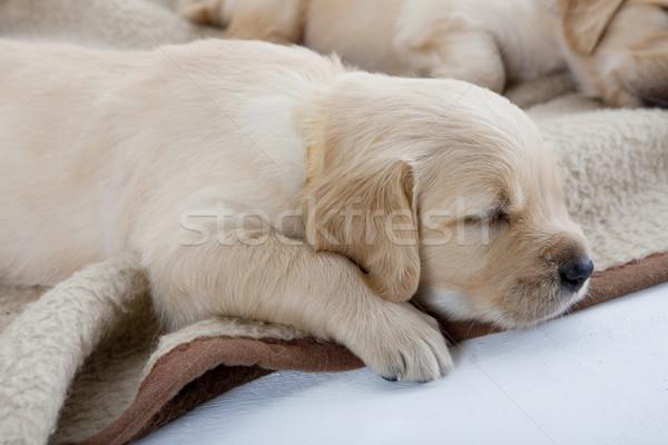 Uyku yavru golden retriever köpekler hayvan köpek yavrusu Stok fotoğraf © phbcz
