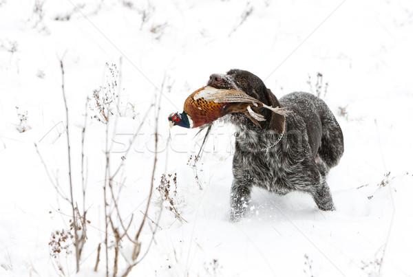キャッチ 雪 ゲーム ペット 狩猟 ストックフォト © phbcz