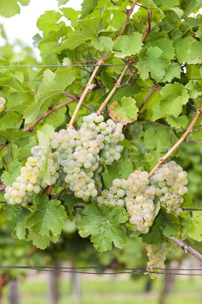Stock photo: white grapes in vineyard, Southern Moravia, Czech Republic