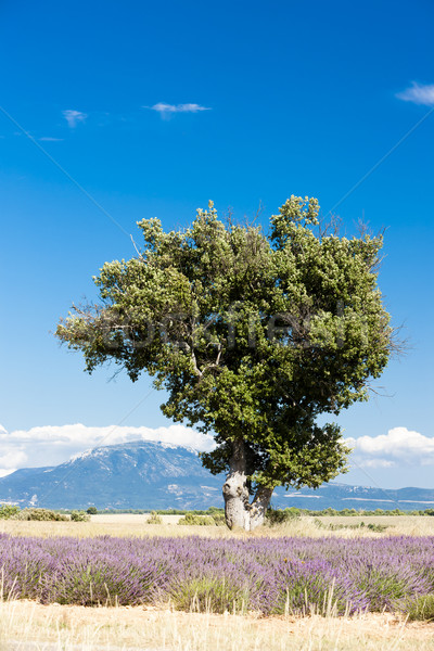 lavender field with a tree, Plateau de Valensole, Provence, Fran Stock photo © phbcz