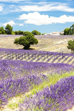 Campo de lavanda árvores França flor natureza agricultura Foto stock © phbcz