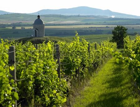 vineyards in Velke Bilovice region, Czech Republic Stock photo © phbcz
