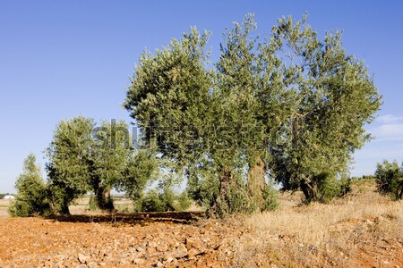 olive trees, Castile-La Mancha, Spain Stock photo © phbcz