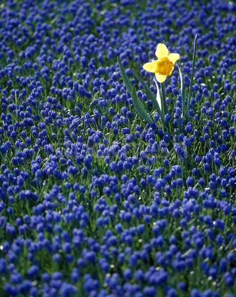 Narcis hyacint veld Nederland bloemen voorjaar Stockfoto © phbcz
