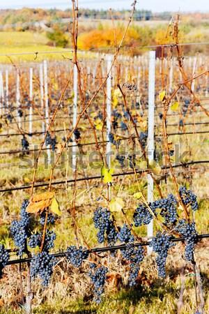 Сток-фото: виноградник · Чешская · республика · осень · завода · винограда