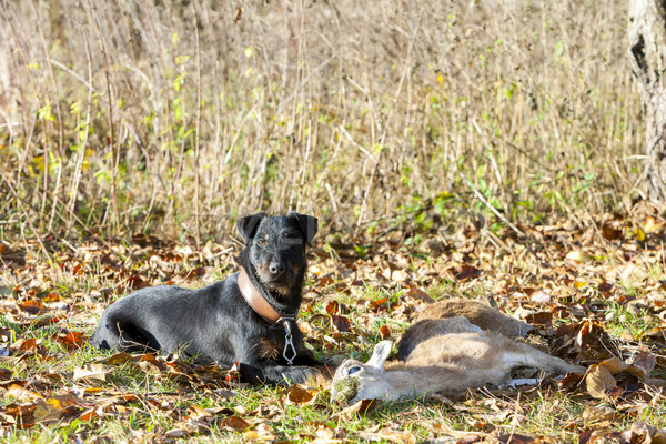 Vadászkutya zsákmány halott díszállat vadászat kint Stock fotó © phbcz