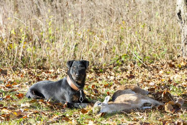 Jachthond dode huisdier jacht buitenshuis Stockfoto © phbcz