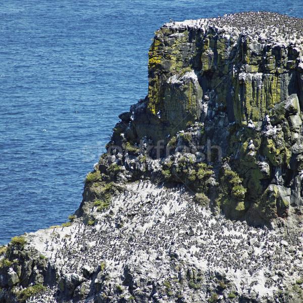 birds colony, Rathlin Island, County Antrim, Northern Ireland Stock photo © phbcz