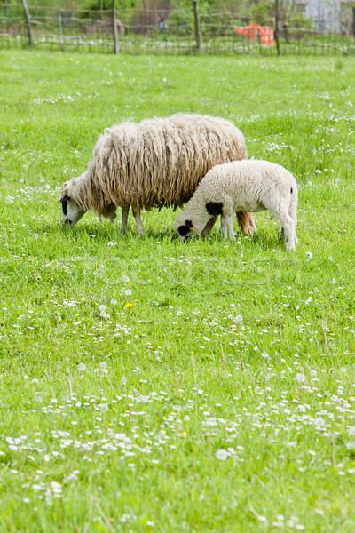 Foto stock: Ovelha · cordeiro · país · prado · ao · ar · livre · mamífero