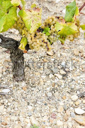Azul de uva región gira Foto stock © phbcz