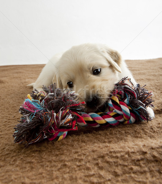Stock photo: puppy of golden retriever playing on blanket