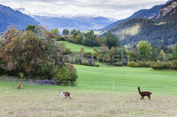 Alps landscape with alpacas near Filisur, canton Graubunden, Swi Stock photo © phbcz