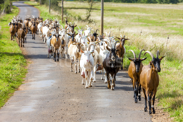 Stock photo: herd of goats on the road, Aveyron, Midi Pyrenees, France