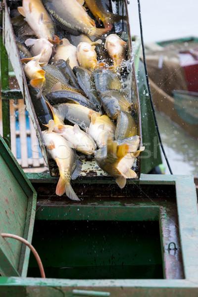 Colheita lagoa peixe ao ar livre Foto stock © phbcz