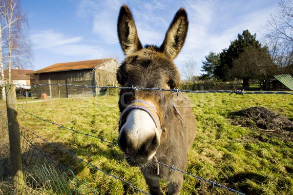 donkey, Champagne, France Stock photo © phbcz