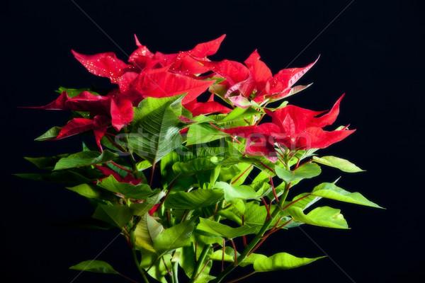Poinsettia Stock photo © phbcz