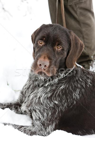lying hunting dog Stock photo © phbcz