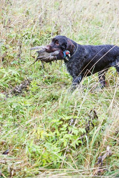 Vadászkutya zsákmány játék díszállat vadászat kint Stock fotó © phbcz