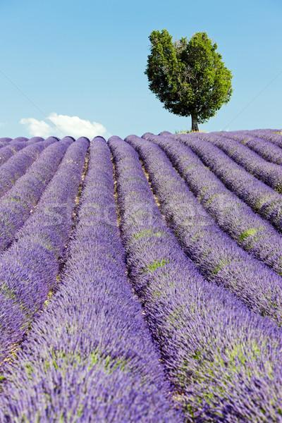 Campo de lavanda meseta Francia árbol paisaje planta Foto stock © phbcz