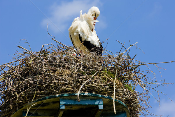 Gólya Hollandia természet madár állat szabadtér Stock fotó © phbcz