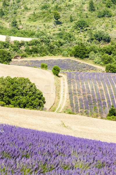 lavender field, Provence, France Stock photo © phbcz
